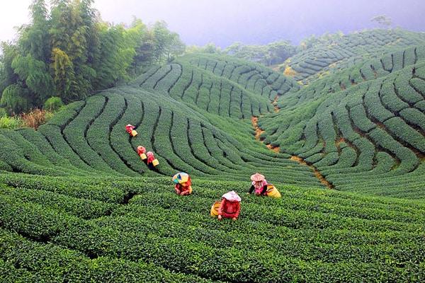Чайный Тайвань